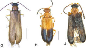 Image for Say hello to Articuno, Zapdos and Moltres –three new species of beetle