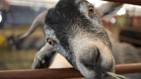 Image for Goat Simulator heading to retail in the UK on May 23