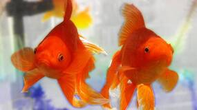 Image for A pair of fish are playing Street Fighter live on Twitch right now